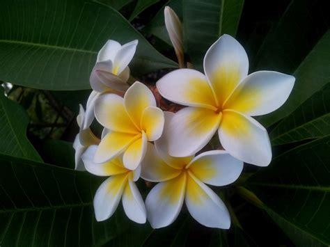 frangipani fiore fiori pi 249 belli dell asia naturalis