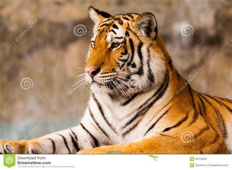 seduta sulla faccia grande seduta della tigre fotografia stock immagine