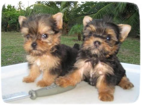 yorkie breeders in houston terrier puppies houston puppies pet photos gallery e82v8eabje