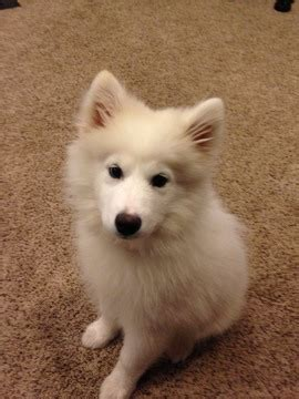 samoyed puppies for sale ny view ad samoyed puppy for sale new york mills usa