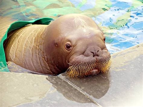 walrus pug 17 best images about walrus on birthday cakes manatees and zoos