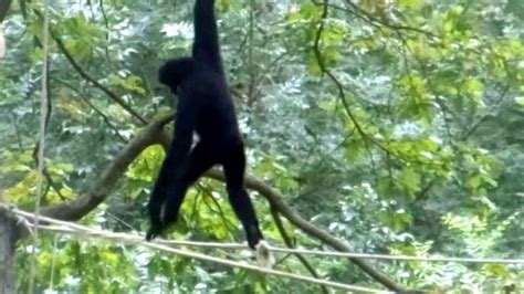 pictures of monkeys swinging in trees cute monkey swinging in a tree youtube
