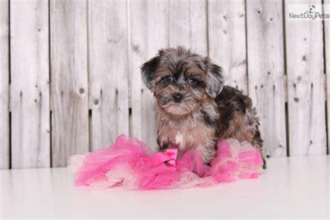yorkie poo grown up yorkiepoo yorkie poo puppy for sale near columbus ohio 87894131 a141