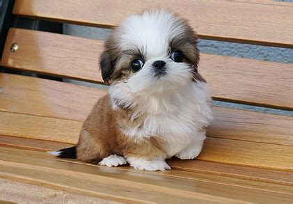 tea cup shih tzu puppies shih poo shih tzu poodle mix facts temperament diet puppies pictures