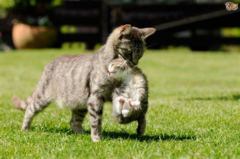scruffing a cat when and how pets4homes