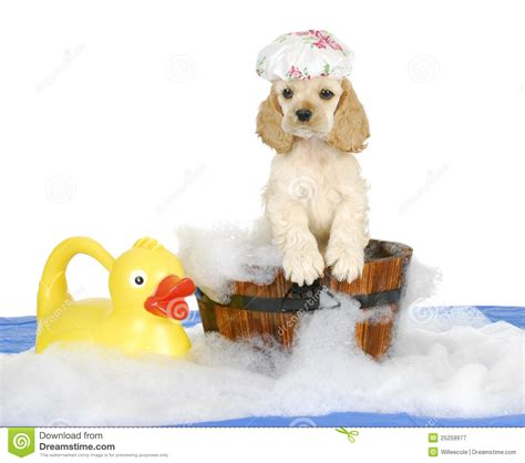 puppy bath time puppy bath time stock image image of puppy domestic 25259977