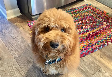 goldendoodle puppy omaha a puppy to stop door dashing