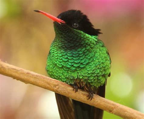 Search Jamaica Doctor Bird Jamaica Search Tattoos Bird And Animal Kingdom