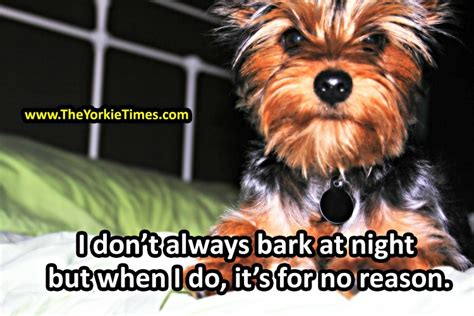yorkie bark terriers to bark