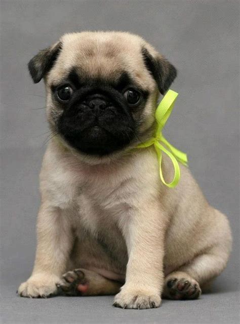 are pugs and bulldogs related related pictures puppies pug puppy car of pugs litle pups