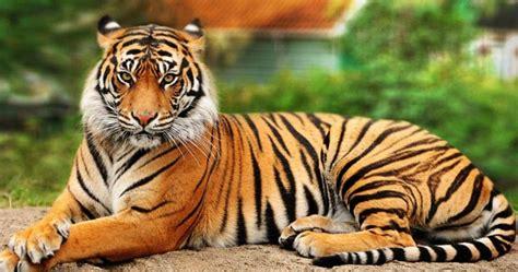 film ular makan harimau ini 10 fakta menarik tentang si raja hutan harimau