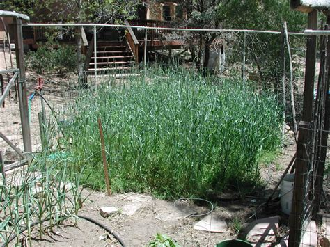 backyard rye backyard gardener grow a fall cover crop september 24