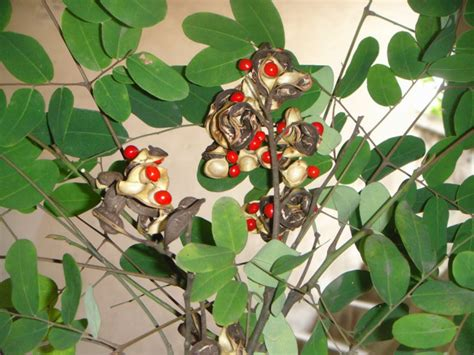 Benih Cendana adenanthera pavonina biji pohon cendana merah benih untuk