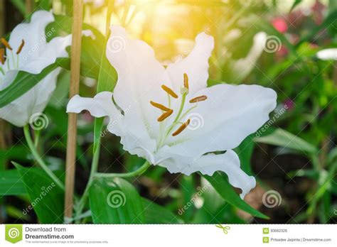 L Use Im Garten 3980 by Lilien Blumen Blumenstrau 223 Im Garten Stockfoto Bild