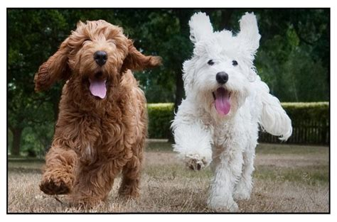 medium poodle lifespan medium sized poodle hybrids dogs in our photo