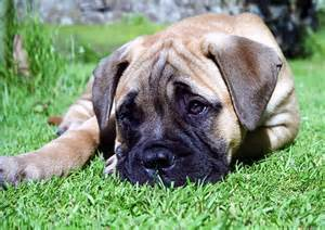 big dogs breeds that dont shed breeds picture