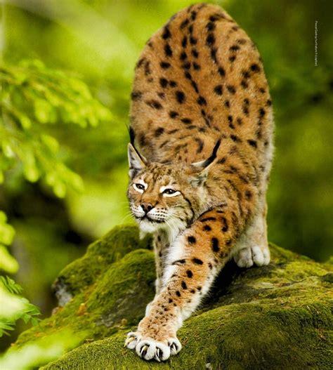 imagenes de un animal 23 best images about linx on pinterest legends