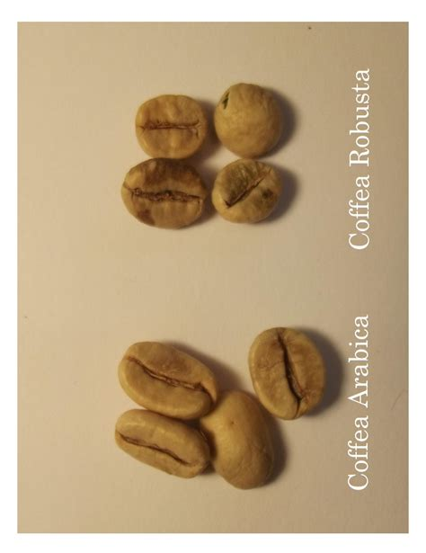 Coffee Robusta august 2013 arabica versus robusta newsletters