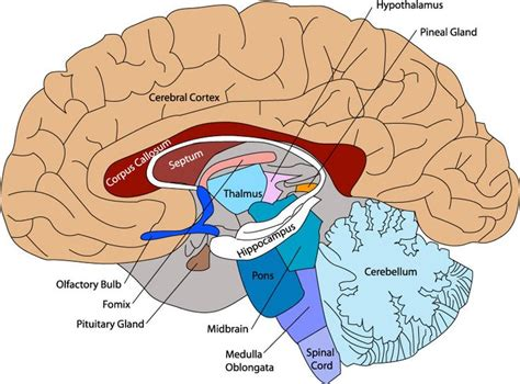 brain diagrams best 25 brain diagram ideas on diagram of the