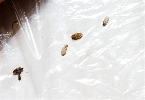 removing bed bugs bedroom carpet bugs 28 images carpet moth larvae