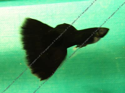 Paket Guppy Jantan 3 Ekor Blue Moscow angelfish aquascape budidaya ikan guppy