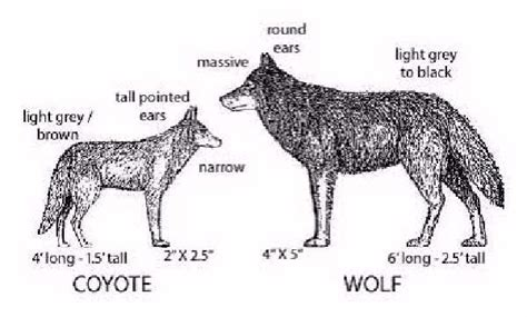 difference between wolves and dogs shangralafamilyfun shangrala s miracle coyote