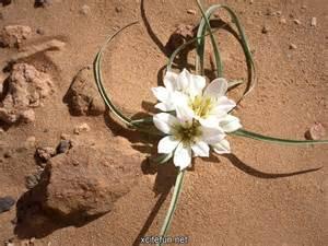 desert flower flower in the desert xcitefun net