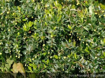 Nomi Di Arbusti E Cespugli by Berberis Genere Di Arbusti Della Famiglia Delle Berberidaceae