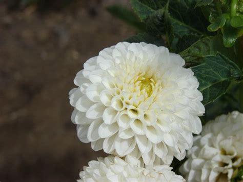 lancresse dahlia garden plants