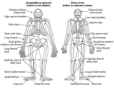 difference between and skeleton diagram paleoanthropology