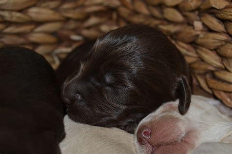 newborn puppies open photos labradoodlescute labradoodles