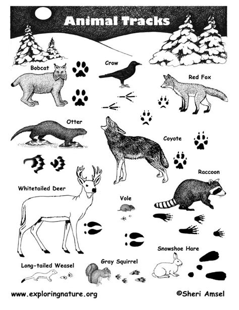 printable animal tracks identification animal tracks poster