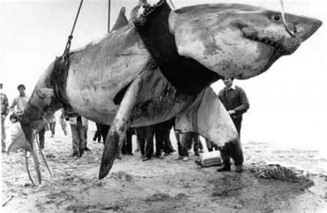 what is the largest great white shark ever recorded primer largest great white sharks ever recorded our planet