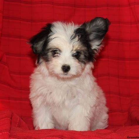 mix breed puppies for sale papillon mix puppies for sale greenfield puppies