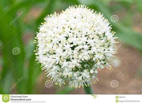 fiore di cipolla testa di fiore della cipolla fotografia stock libera da