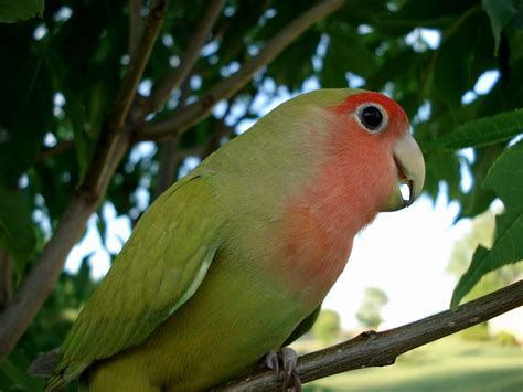 world s animal pictures peach faced lovebird agapornis