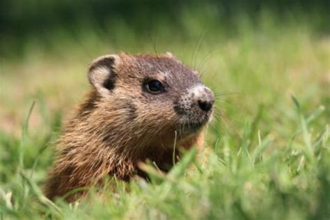 groundhog day yearly results nature guides sustainability classroom resources at