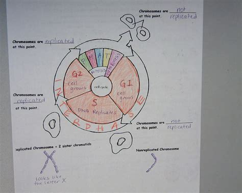 mitosis coloring sheet reading notes note taking worksheet cell division and mitosis answers