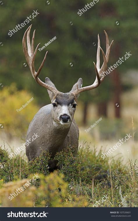 mule deer buck  huge antlers close  frontal