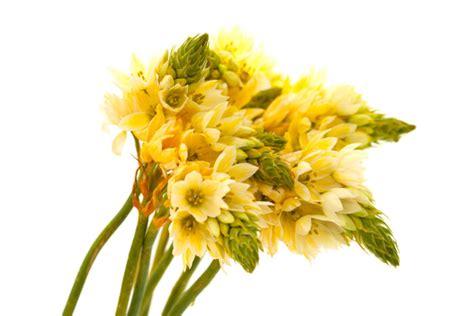 fiore meaning of bethlehem flower meaning savingourboys info