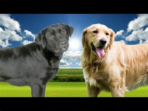 golden lab vs golden retriever labrador retriever vs golden retriever highlights