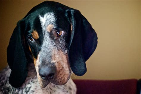 blue tick file bluetick coonhound jpg wikimedia commons