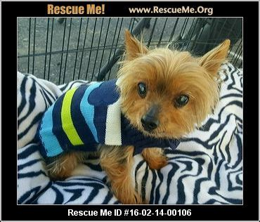 arizona yorkie rescue arizona yorkie rescue adoptions rescueme org