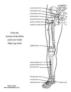 anatomy physiology coloring workbook answers page 178 image result for free human anatomy coloring pages pdf