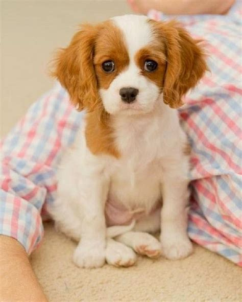 best small breed dogs best small breeds for matttroy