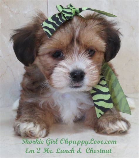maltipoo puppies for sale in wisconsin www ohpuppylove morkie shorkie maltipoo breeder puppies puppy dogs