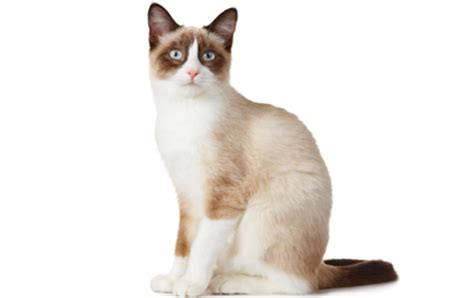 White Colorless Cat Eye snow shoe cat breed info history personality care
