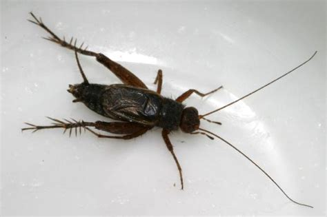 black crickets in house allard s ground cricket the backyard arthropod project