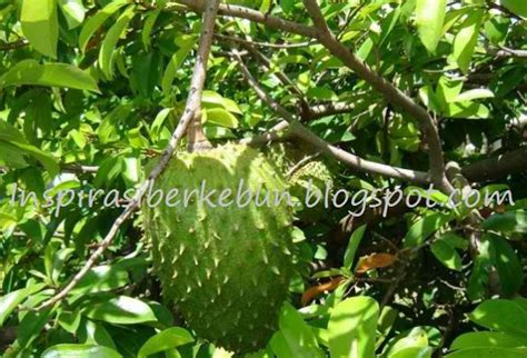 Bibit Pohon Sirsak Madu cara menanam pohon sirsak agar cepat berbuah inspirasi