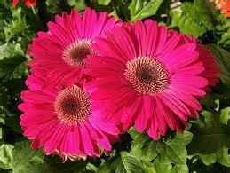 gerber headl gerbera linguaggio dei fiori il giardino tempo